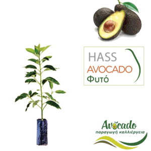 Avocado-hass ( Αβοκάντο χας) φυτό σε χονδρική τιμή σε σακούλα φυτωρίου
