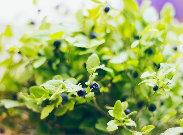 AVOCADO CULTIVATION, CULTIVATION PRICE MARKET BUY, TREE/TREE PLANT, MARKET PLANTS, nursery