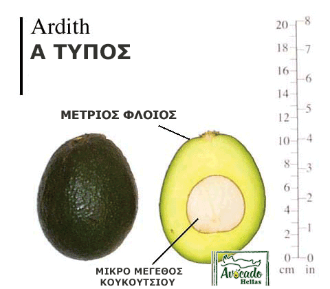 Ποικιλία αβοκάντο Ardith Χανιά Κρήτη Ελλάδα.