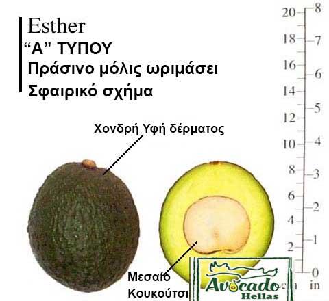 Variety Avocado Esthel