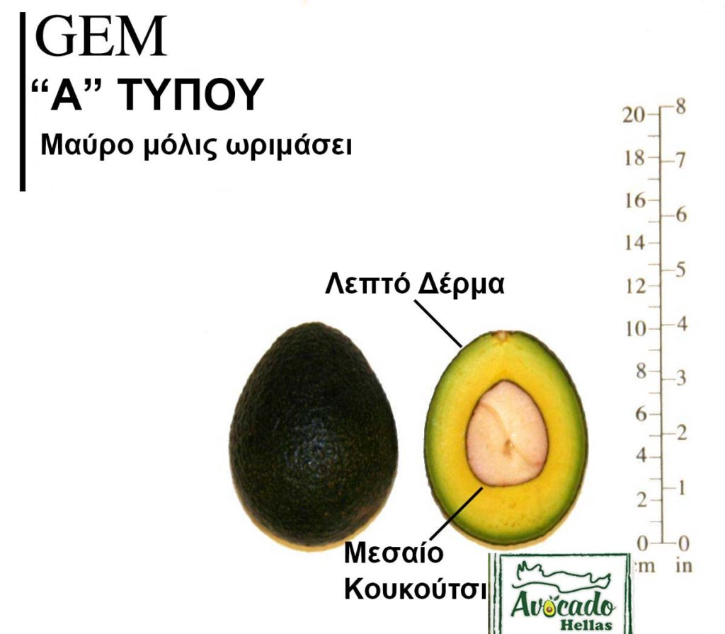 Avocado Variety Gem