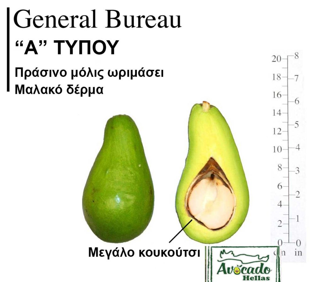 Avocado variety General Bureau