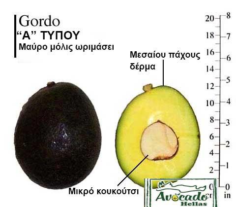 Gordo Avocado Variety
