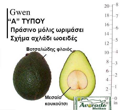 Gwen Avocado Variety