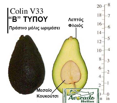 Ποικιλία Αβοκάντο Κρήτης ColinV33