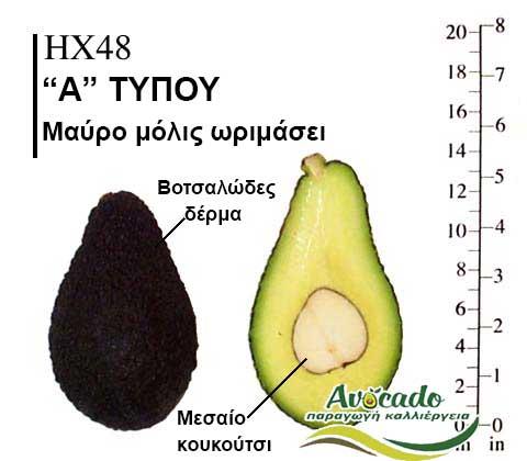 Avocado HX48 variety