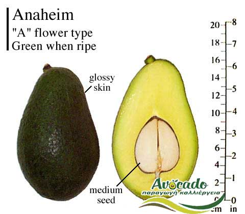 Variety Avocado Greece Crete Anaheim