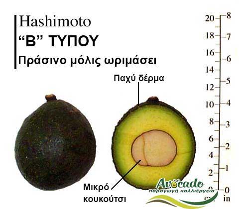 Hashimoto Avocado Variety