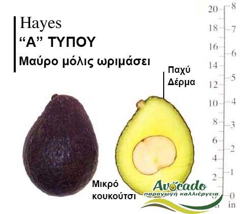 Hayes Avocado Variety
