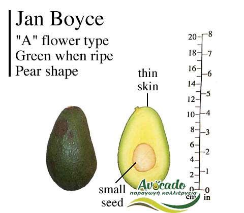 Variety Avocado Jan Boyce Greece Crete
