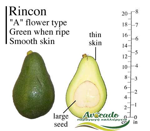 Variety Avocado Rincon Greece Crete Chania