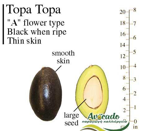 TopaTopa Variety Avocado Greece Crete Chania rootstock