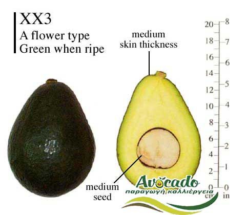Variety Avocado XX3 Holiday Greece Crete, AVOCADO CULTIVATION, CULTIVATION PRICE MARKET BUY, TREE/TREE PLANT, MARKET PLANTS, nursery, 2019, 2020, 2021,Avocado Chania, wholesale prices, producer prices,