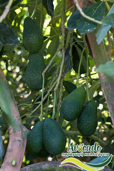 Variety Avocado Greece Crete chania Hass