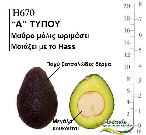 Avocado H670 variety