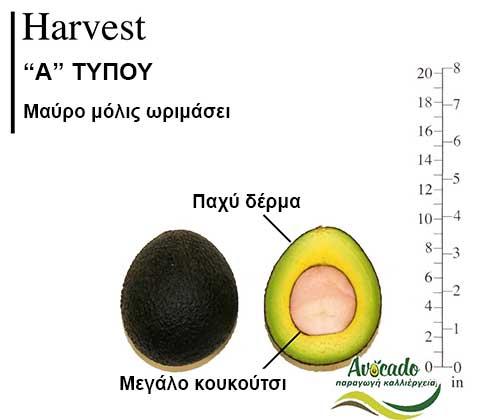 Avocado Harvest variety