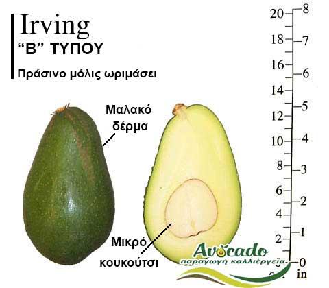 Avocado variety Irving