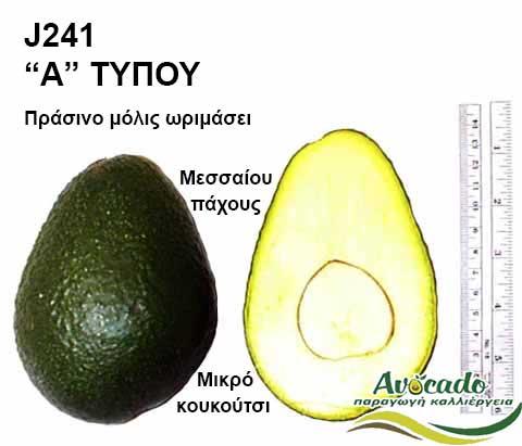 Avocado variety J241