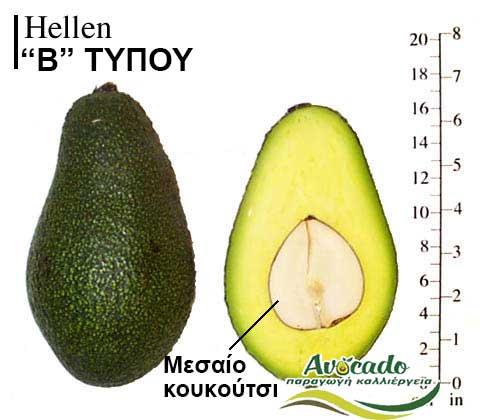 Avocado variety Hellen