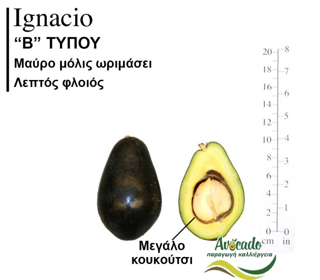 Ignacio Avocado variety