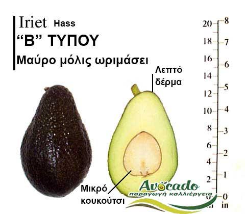 Avocado Iriet variety