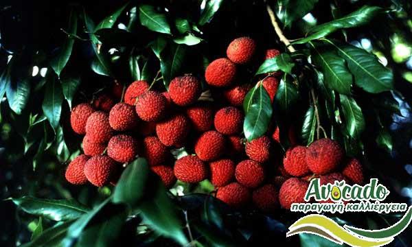 litsi, Litchi, Lychee, Λίτσι, CULTIVATION, CULTIVATION PRICE MARKET BUY, TREE/TREE PLANT, MARKET PLANTS, nursery, 2019, 2020, 2021