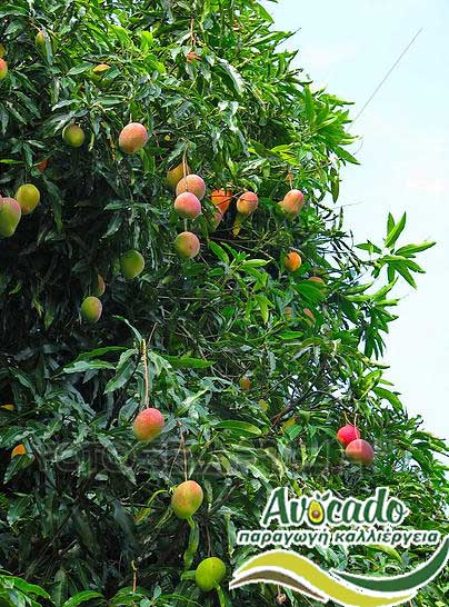 mango osteen, μάνγκο , AVOCADO CULTIVATION, CULTIVATION PRICE MARKET BUY, TREE/TREE PLANT, MARKET PLANTS, nursery, 2019, 2020, 2021