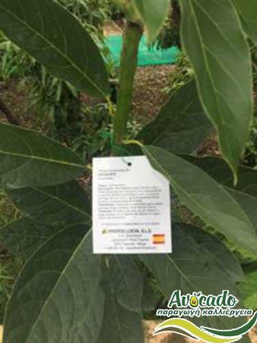 AVOCADO CULTIVATION, CULTIVATION PRICE MARKET BUY, TREE/TREE PLANT, MARKET PLANTS, nursery, 2019, 2020, 2021, Greece, Crete, Chania