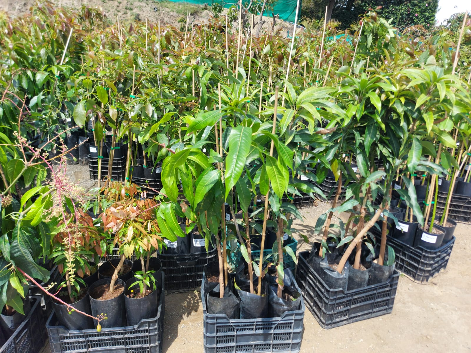 Nursery-Cultivation Production Avocado - Mango plants with basic propagating material from Spain