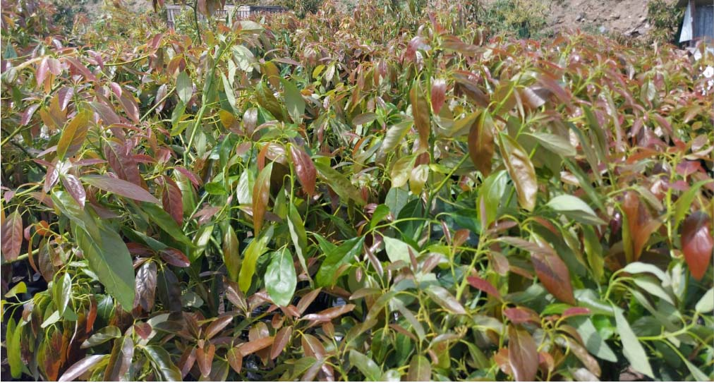 Cultivation Production Avocado - Mango plants with original propagating material from Spain
