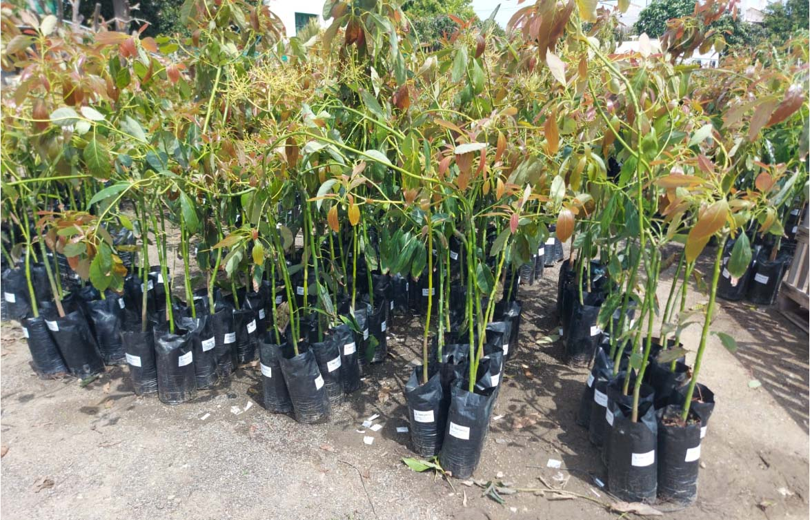 Avocado - Mango Nurseries plants with original propagating material imported from Spain