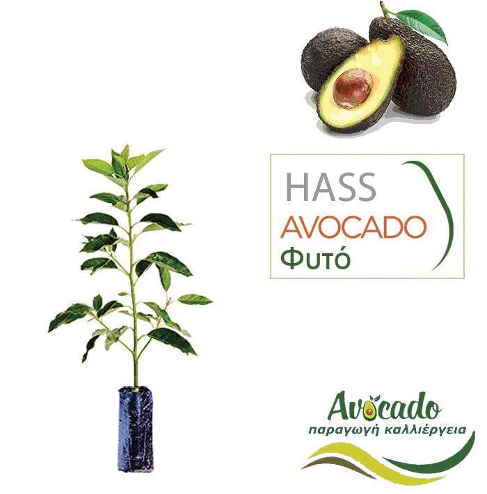 dc0e2e9952dc Avocado-hass ( Αβοκάντο χας) φυτό σε χονδρική τιμή σε σακούλα φυτωρίου