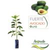 Δέντρο αβοκάντο Fuerte ( φουέρτε) σε σακούλα φυτωρίου