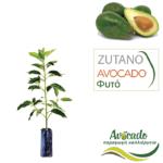 avocado-zutano-fyto-xondriki-timh-fytorio-SM