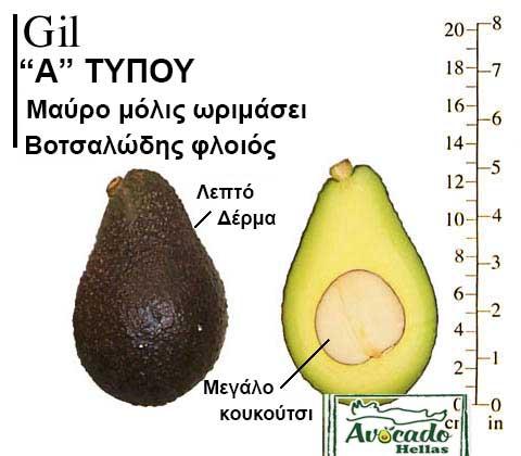 Ποικιλία Αβοκάντο Κρήτης Gil, Ποικιλία Αβοκάντο (Avocado) Gil, Avocado-Crete