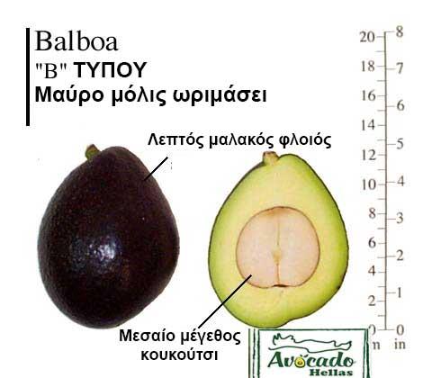 Ποικιλία Αβοκάντο Κρήτης Balboa, Ποικιλία Αβοκάντο (Avocado) Balboa, Avocado-Crete