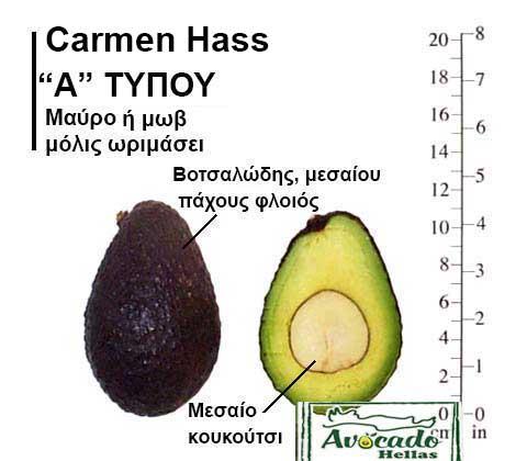 Ποικιλία αβοκάντο Κρήτης CarmenHass-chania, Ποικιλία Αβοκάντο (Avogado) Carmen Hass (Δημοφιλές), Avocado-Crete