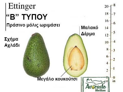 Ποικιλία Αβοκάντο (Avocado) Ettinger