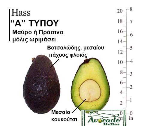 Ποικιλία Αβοκάντο Κρήτης Hass-chania, Ποικιλία Αβοκάντο (Avocado) Hass (Δημοφιλές), Avocado-Crete