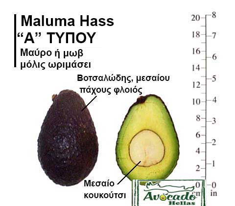 Ποικιλία Αβοκάντο Κρήτης MalumaHass-chania, Ποικιλία Αβοκάντο (Avocado) Maluma Hass (Δημοφιλές), Avocado-Crete