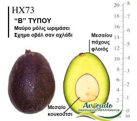 Ποικιλία Αβοκάντο Κρήτης HX73, Ποικιλία Αβοκάντο (Avocado) HX73, Avocado-Crete