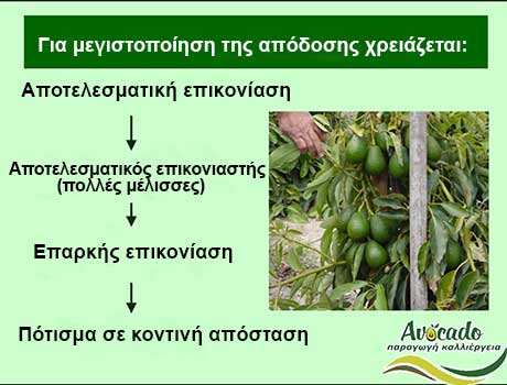 Επικονίαση Αβοκάντο Αρσενικά Θηλυκά, Επικονίαση Αρσενικά θηλυκά άνθη Αβοκάντο φώτο, Avocado-Crete