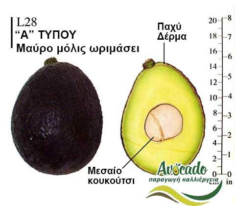 Avocado variety L28