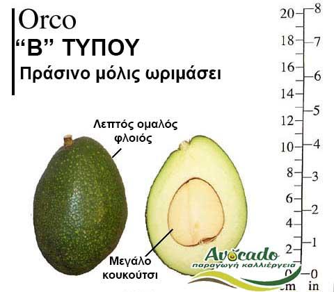 Variety Avocado Orco