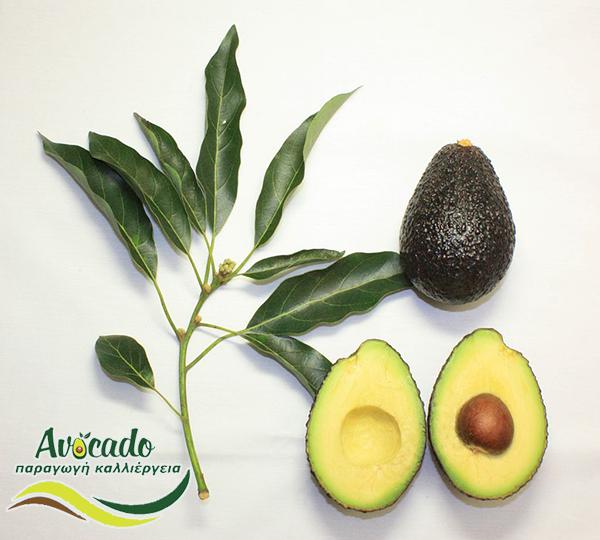 Μαλουμα χας αβοκάντο - maluma hass avocado - εμπορική νέα ποικιλία