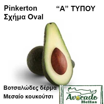 Ποικιλία αβοκάντο Κρήτης Pinkerton-chania, Ποικιλία Αβοκάντο (Avogado) Pinkerton (Δημοφιλές), Avocado-Crete