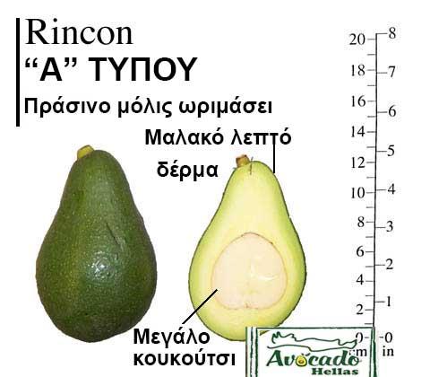 Ποικιλία Αβοκάντο Κρήτης Rincon-chania, Ποικιλία Αβοκάντο (Avocado) Rincon (Δημοφιλές), Avocado-Crete
