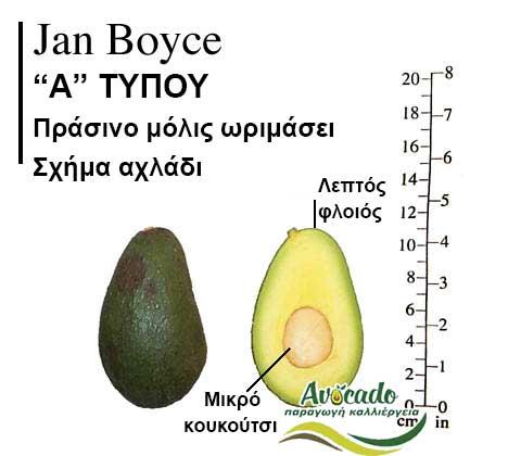 Ποικιλία Αβοκάντο Κρήτης JanBoyce-chania, Ποικιλία Αβοκάντο JanBoyce (Δημοφιλές), Avocado-Crete