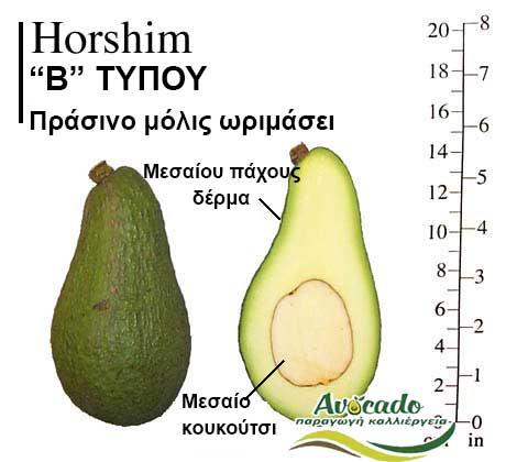 Ποικιλία Αβοκάντο Κρήτης Horshim-chania, Ποικιλία Αβοκάντο (Avocado) Horshim (Δημοφιλές), Avocado-Crete
