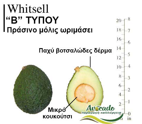 Whitsell Avocado Variety